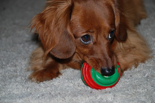 My Miniature Dachshund Molly Playing with Her Ball