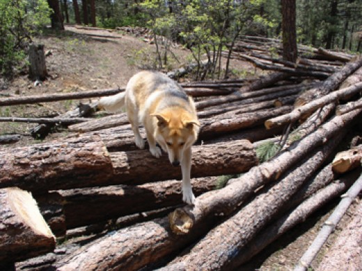 Making her way over a large collection of freshly cut trees still, Shasta knows that her trail still lies beneath.