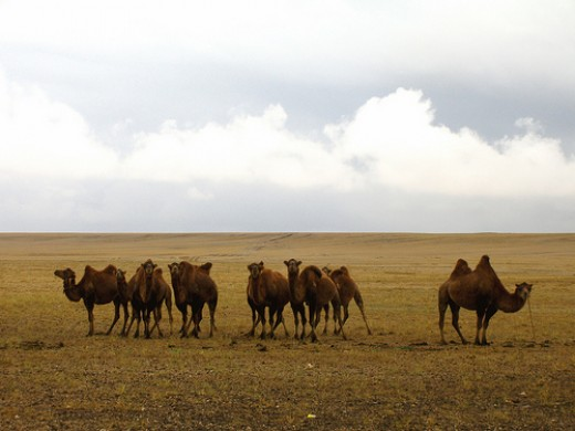 The characteristic two humped camel of The Gobi Desert