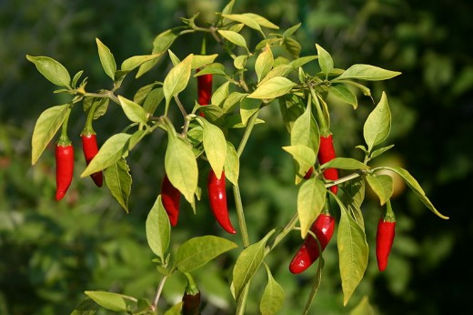 one variant of capsicum -- chili hot pepper