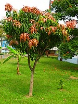 this is my advice on how to grow a mango tree from seed mango ...