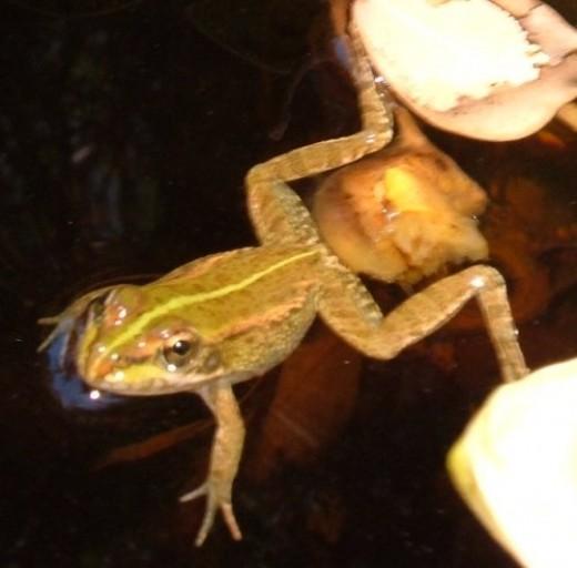 Iberian Water Frog