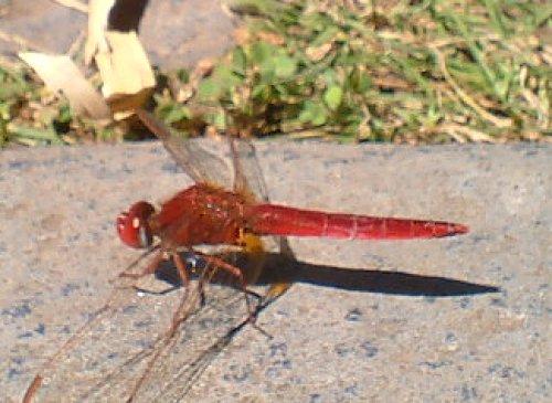 Scarlet darter dragonfly