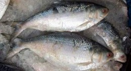 Fresh water fish: Hilsa or Ilish in native language