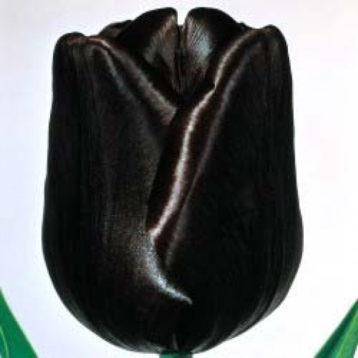 book review of the black tulip