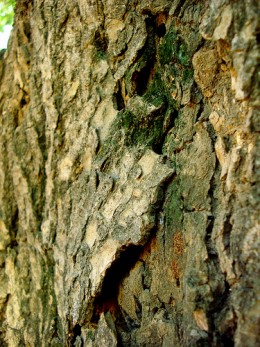 Bark of the Mango Tree