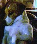 Lucy - Parsons Jack Russell