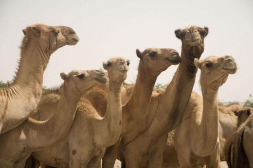Egal Shiidaad's camels
