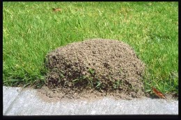 Here is a Fire Ant mound.