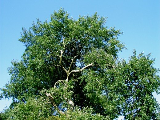 The grey poplar is a handsome tree. Photograph by D.A.L.