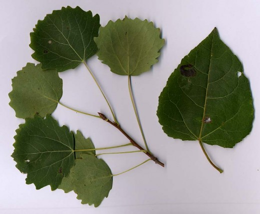 Average leaves on the left, while the one on the right is a leaf of a vigorous shoots. Photograph courtesy of