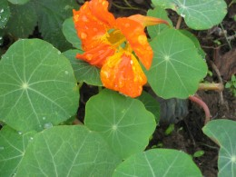 photo: nasturtium flowers. A simple to grow flower and  the seeds are large enough to be planted one at a time.