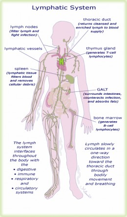 Figure 3. Overview of the lymphatic system anatomy.