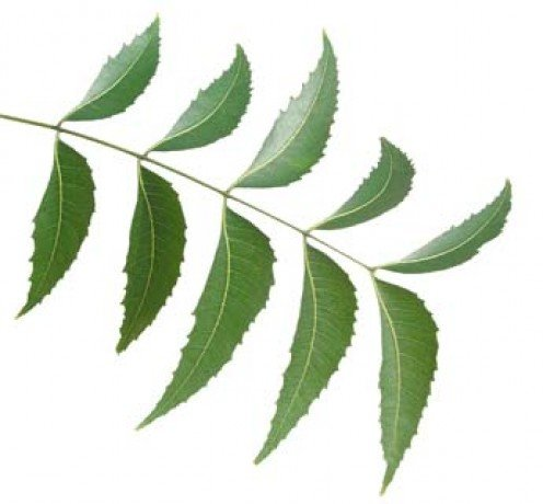 neem leaves are slighly cresent shaped with serrated edges