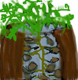 Potatoes Growing In Barrels.