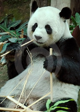 The giant panda is under threat due to a shrinking environment. The Chinese have attempted to breed them in captivity with limited success.
