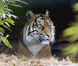 The tiger is under threat due to the pressure of agriculture and industry.