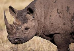 The black rhino, prized for its horn is under threat. As the numbers dwindle, the price of the horn goes up, increasing the attractiveness to the poacher.
