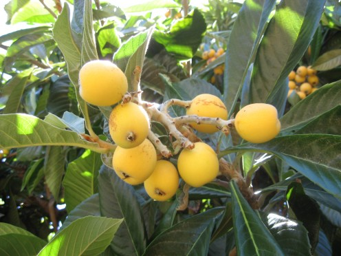 A cluster of fresh loquats / Photo by E. A. Wright