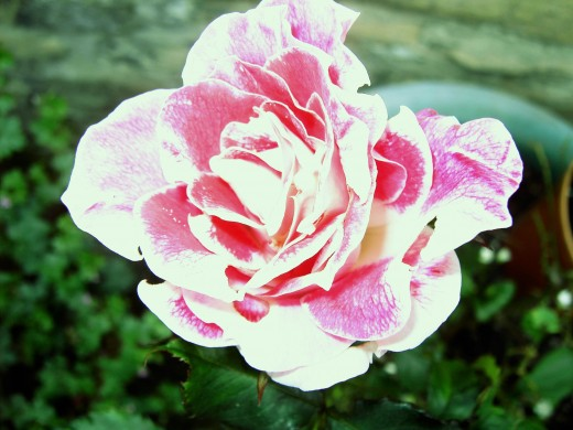 One of the many cultivated rose varieties. Photograph by D.A.L.