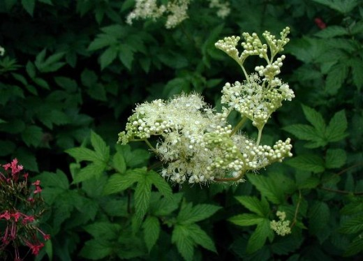 The frothy flowers of meadowsweet enhance many habitats.Photograph courtesy of Sten Porse