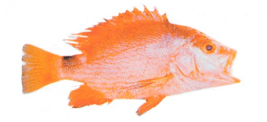 the red snapper