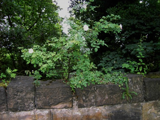 This species is growing out of an old stone wall and still managing to flourish. Photograph by D.A.L.