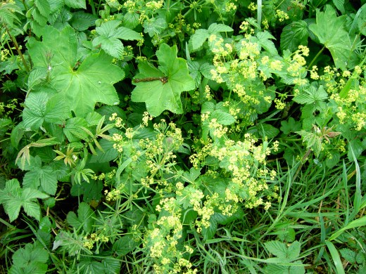 The lady's mantle has always been a cottage garden favourt. Photograph by D.A.L.