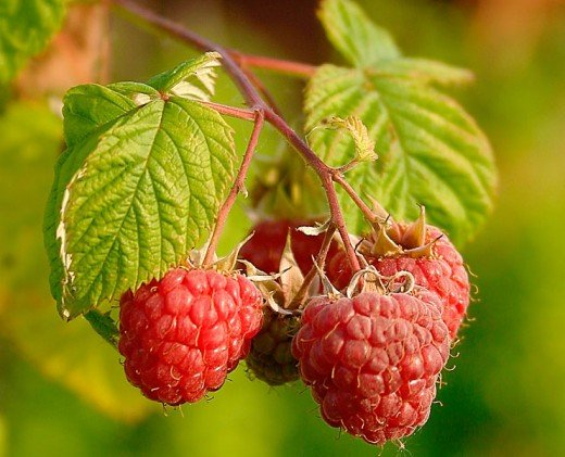 Raspberries another plant of the rose family that provide us with food.Photograph courtesy of Juhanson