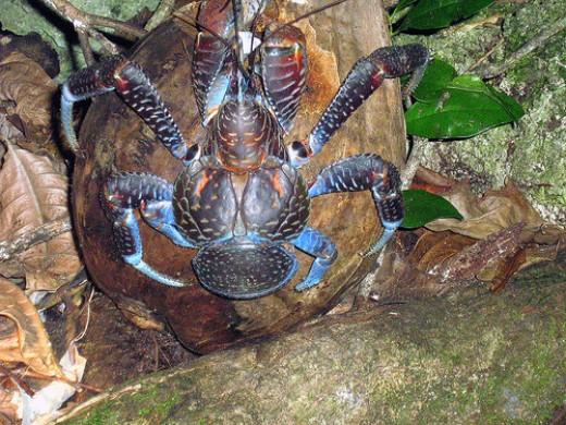 Coconut Crab pic