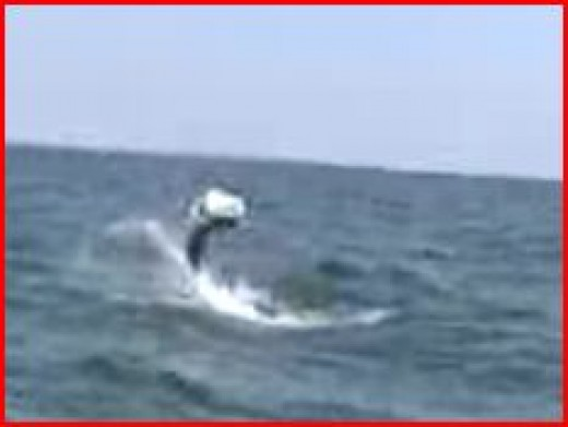 A tarpon leaping -- sorry for the poor quality.