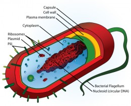 Diagram of the cellular structure of a typical bacterial cell