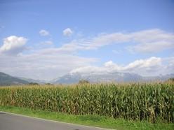 Corn growing in the field