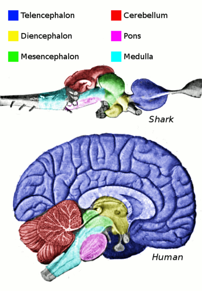 A human brain, compared with a shark brain.