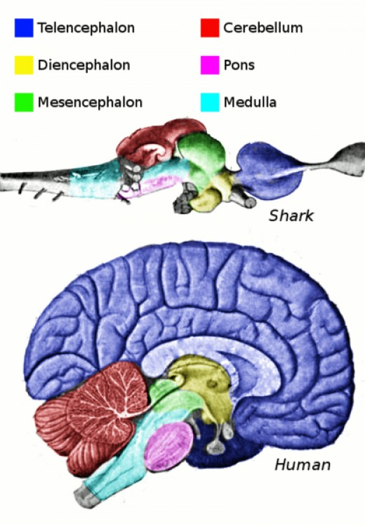 A human brain, compared with a shark brain.