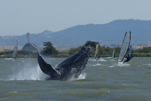 Humpbacked whale named Dawn in the Sacramento River in May 2007.