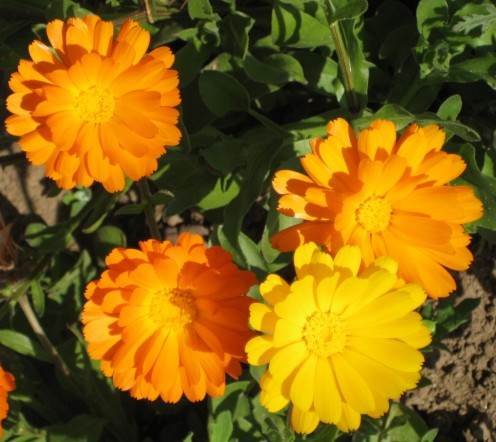 Marigolds are easy to grow flowers that are good in the flower border or in the vegetable garden,