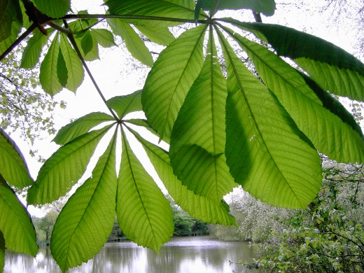HEALTHY HORSE CHESTNUT  FOLIAGE TAKEN IN LATE SPRING.