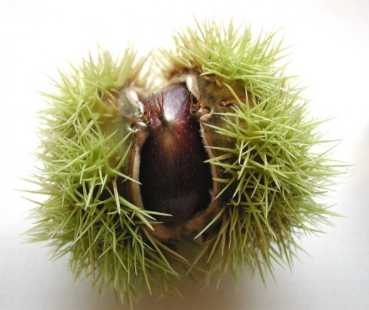 The spiny husk and nut of the sweet chestnut. Photograph courtesy of Wilfried Wittkowsky