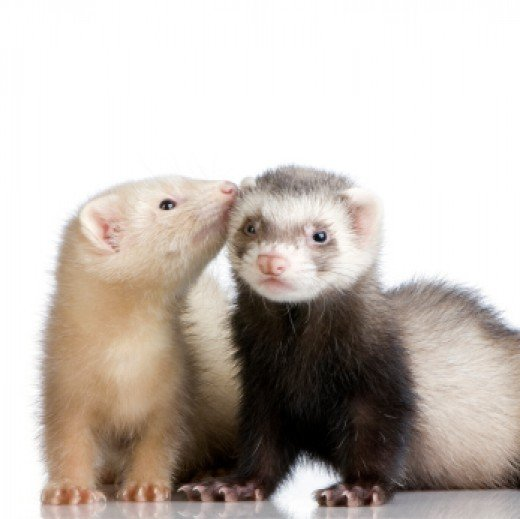 Domesticated ferret (Google Images)