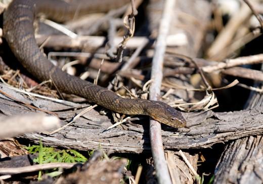 Dangerous Water Snake