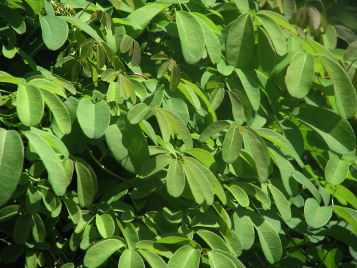 Akeba Vine - Grown For Foliage - tolerates shade.