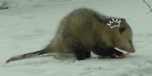 Fashion-conscious opossum models a Silly Bandz