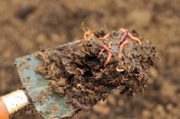 Red Wiggler worms composting