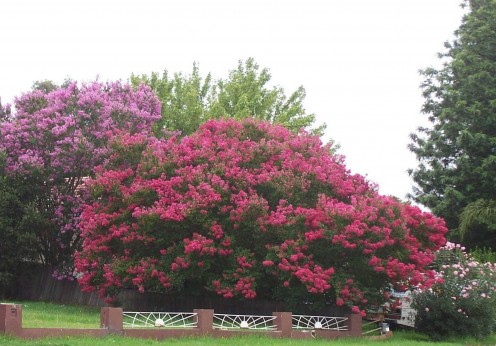 Crepe  Myrtle Trees along Mamre Road St Marys NSW