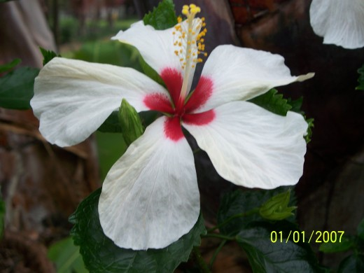 This is a beautiful flower from Hong Kong