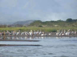 Some regions of the African rift are already filling with water, creating a very shallow lake.