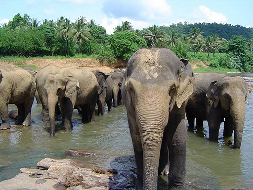 Sri Lanka Pinnawala Elephants