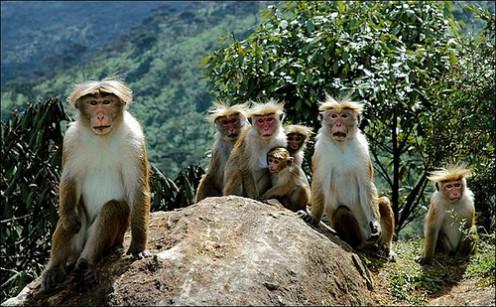 Sri Lanka Toque Macaque Monkey Wildlife