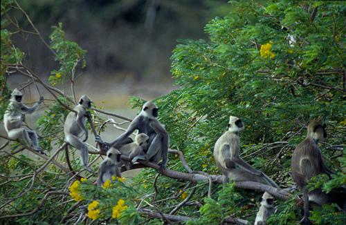 Sri Lanka Wildlife Monkeys Gray Langur